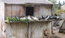 Голуби в голубятне