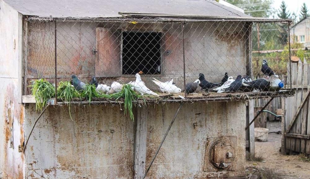 пермский голубятни мира фото словам пресс-службы