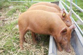 Свиньи едят корм