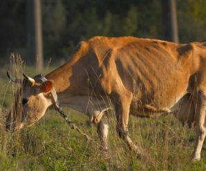 Бруцеллез у коров: причины, симптомы, лечение и профилактика заболевания