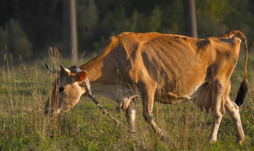 Худая рыжая корова