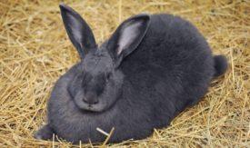 Вакцинация беременных и кормящих крольчих