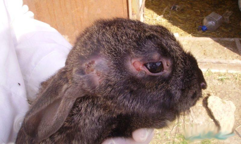 Лечение в домашних условиях у кроликов ушного клеща