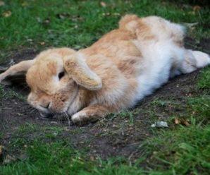 Эймериоз (кокцидиоз) у кроликов: причины заболевания и методы лечения