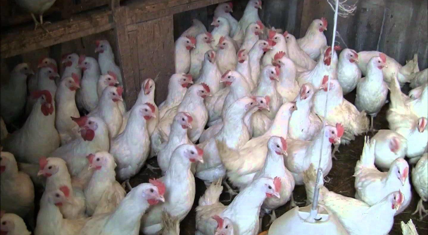 Полуторамесячные цыплята в процессе кормежки