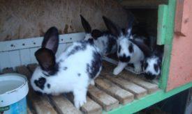 Кролики бабочки