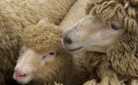 Две овцы