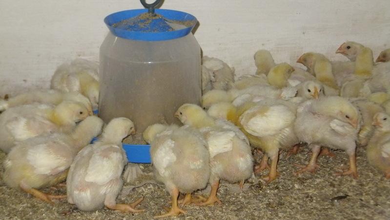 Чем кормить цыплят несушек в первые дни