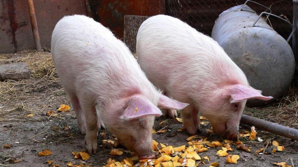 Кормление свиней овощами