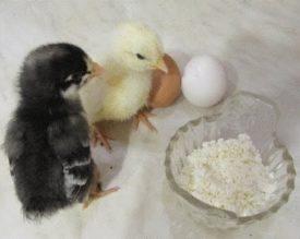 Цыплята и творог