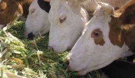 Коровы едят траву