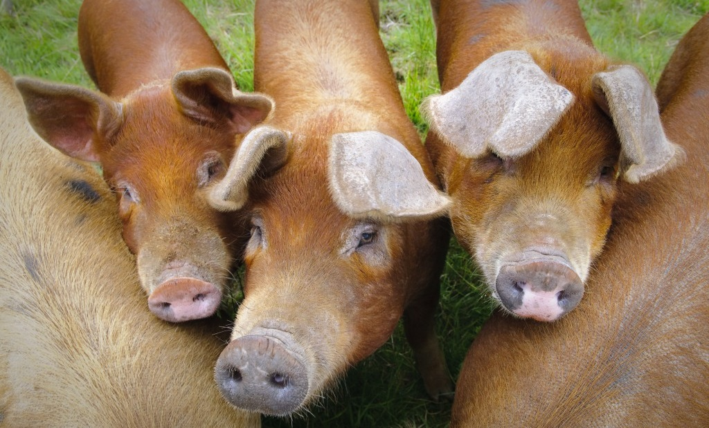 Продолжительность жизни мясных свиней Дюрок