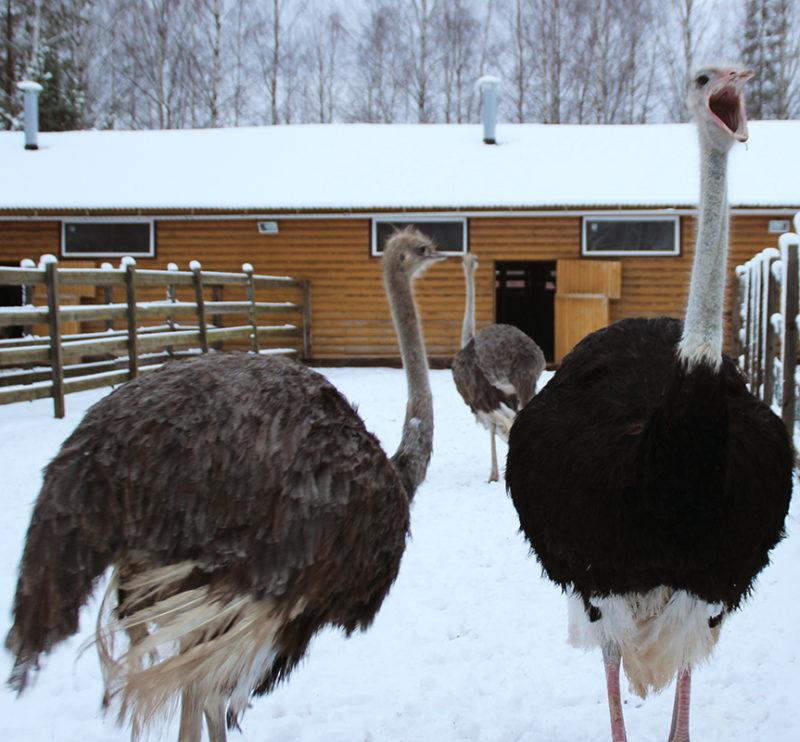Все о выращивании страусов