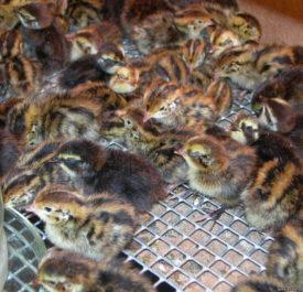 Птенцы перепелов