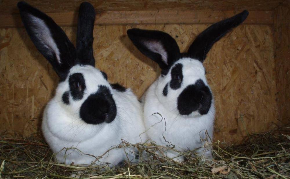 Два кролика бабочки