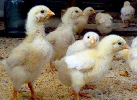 Кормление недельных цыплят