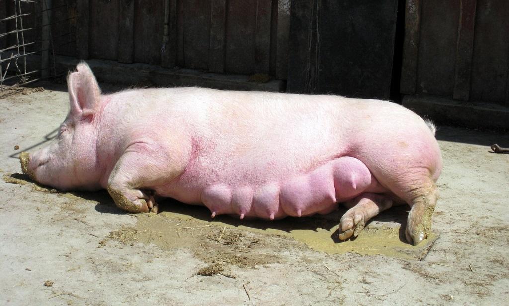 Искусственное оплодотворение свиней