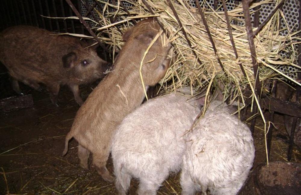 Кормление свиней Мангал