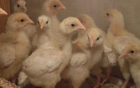 Чем и как кормить месячных цыплят