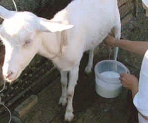 Сколько молока дает коза: правильное питание и содержание для увеличения удоев
