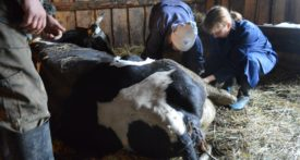 Ветеринар и корова