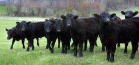 Стадо абердин-ангусских коров