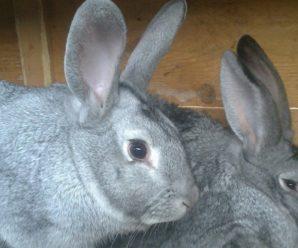 Кролики породы советская шиншилла: характеристика и особенности разведения