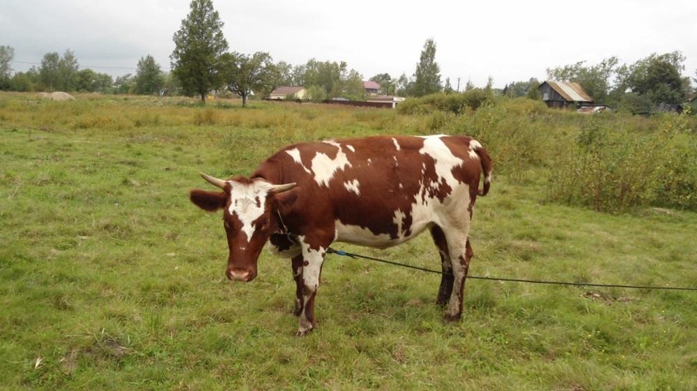 Айрширская корова на пастбище