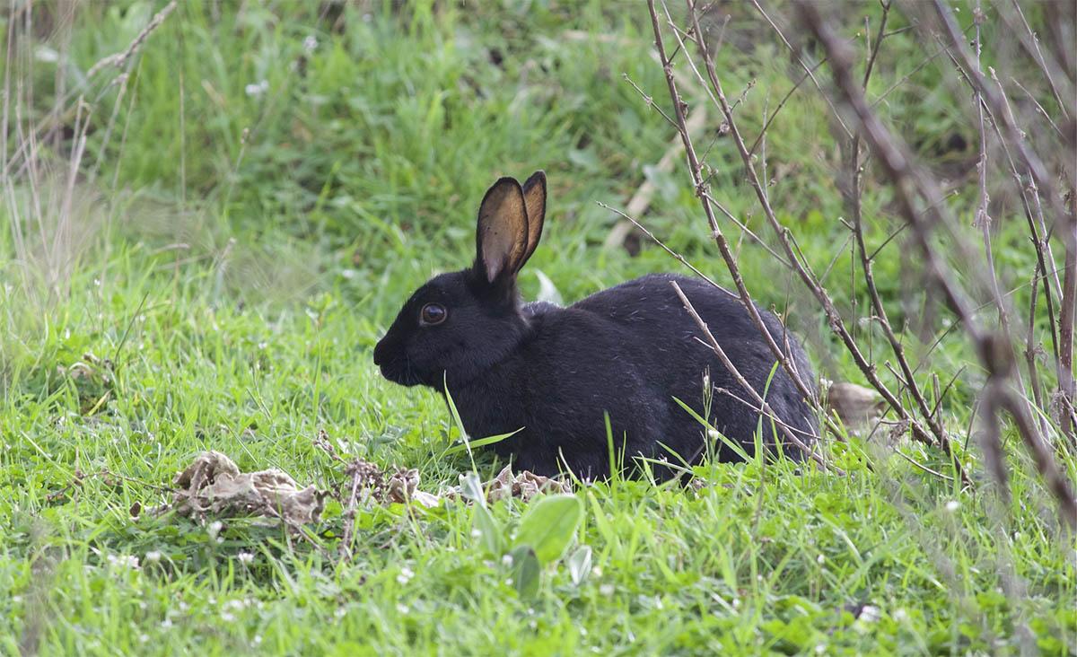 Черно бурый кролик в траве