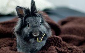 Серый львиноголовый кролик