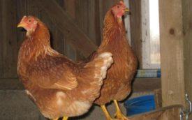 Определение возраста курицы