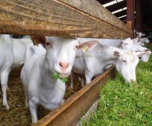 Что едят козы в домашних условиях: рацион для взрослых особей и козлят