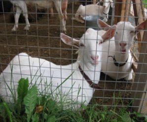 Козы породы ламанча – характеристика и описание породы