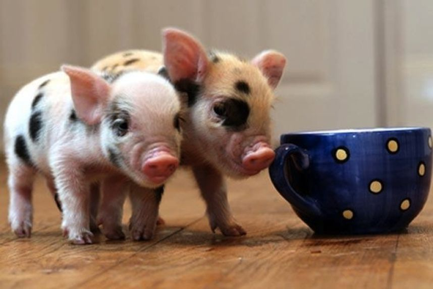 Срок жизни карликовых декоративных свинок