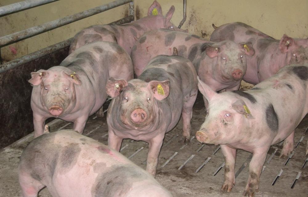 Свиньи Пьетрен