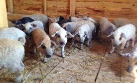 Свиньи в сарае
