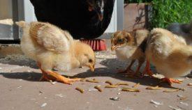 Цыплята кушают червяков