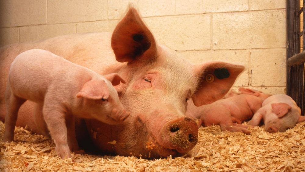 Свинья лежит на опилках