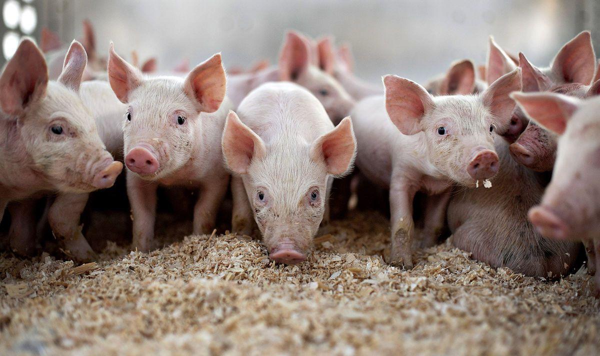 Сколько живут свиньи