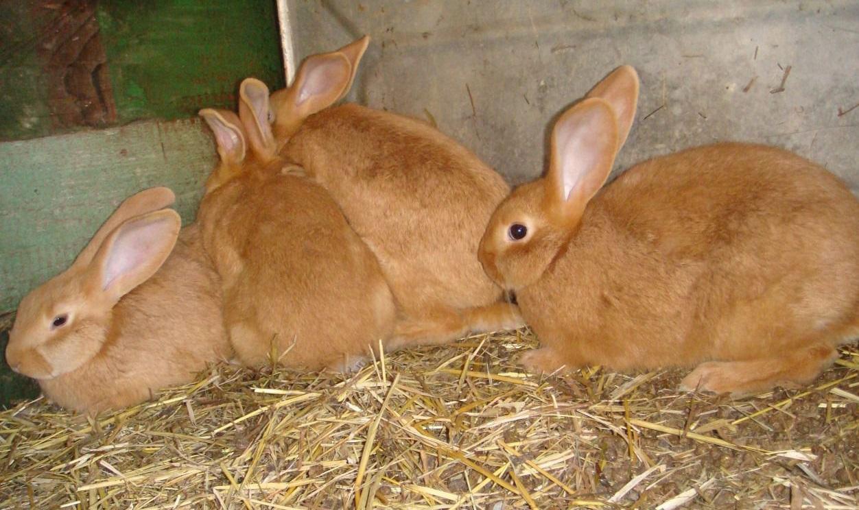 Содержание бургундских кроликов