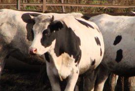 Продуктивность черно-пестрых коров
