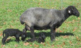 Эдильбаевская порода овец с потомством