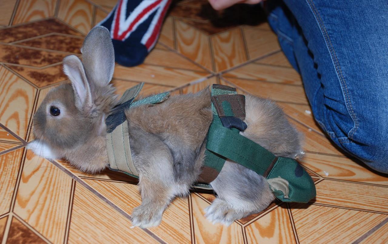 Подготовка кролика к прогулке
