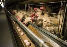 Как кормить кур при клеточном содержании