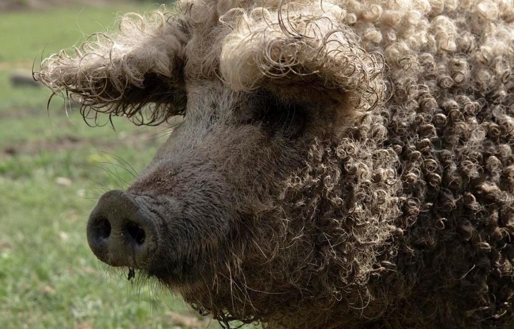 Порода свиней венгерская мангалица