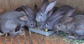 Кролики едят картофель