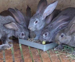 Может ли присутствовать сырой или отварной картофель в рационе кролика