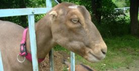 Коза ламанча