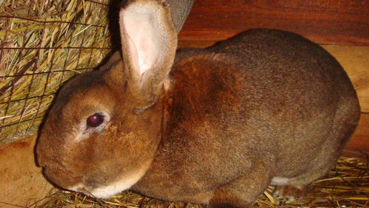 Чиктоник для кроликов