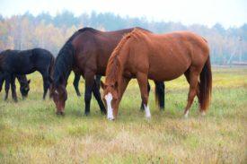 Лошади Ганноверской породы на пастбище